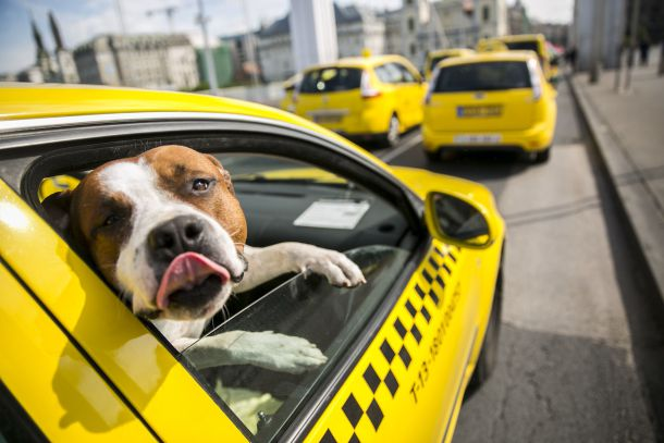 taxi kutyas